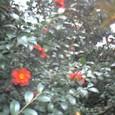 殿ヶ谷戸公園、椿