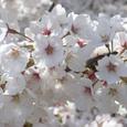 038桜2